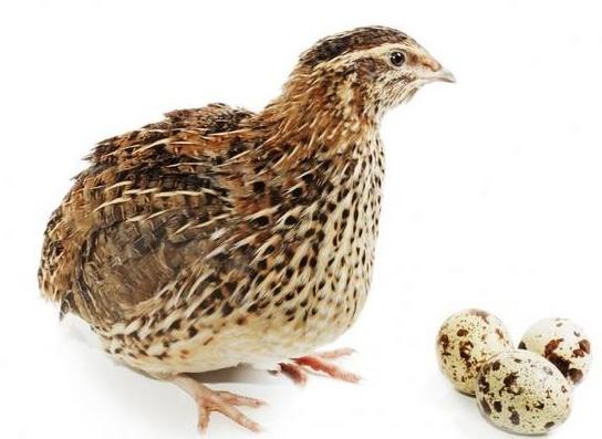 Перепела яйца