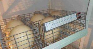 Страус яйцо в инкубаторе