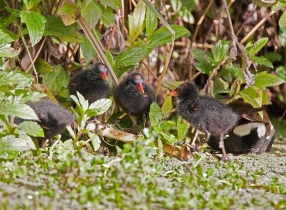Зеленоногая курочка - болотная курочка - Камышница