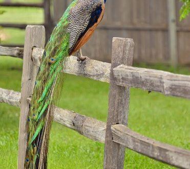 Павлин на заборе