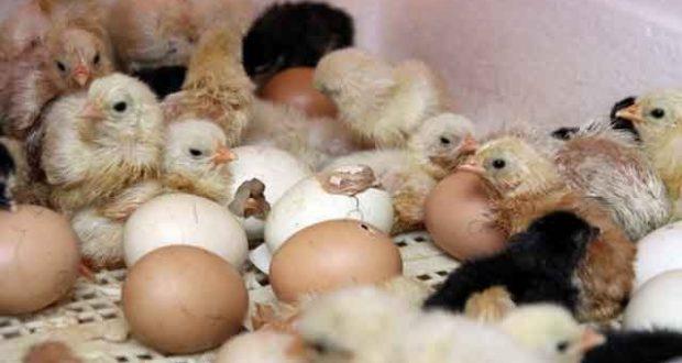 Цыплята лупятся