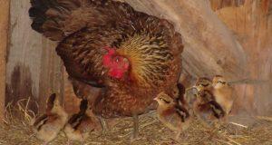Курица и ципы