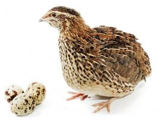 Перепелка и 3 яйца